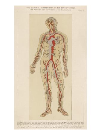 Stroo7taxa Human Veins And Arteries Diagram