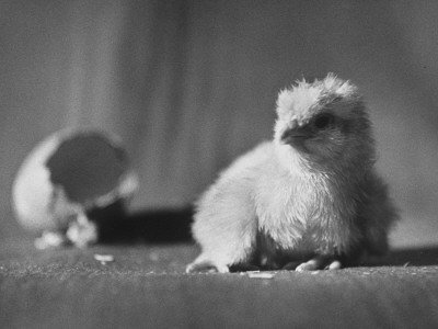 Baby Chick Fresh Out of Egg and Resting Stretched Canvas Print