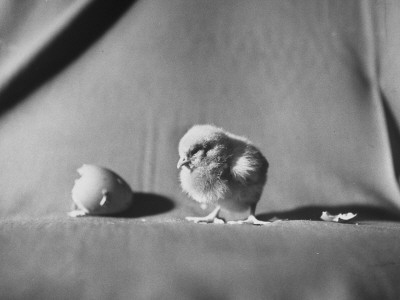 Baby Chick Looking at Egg Stretched Canvas Print