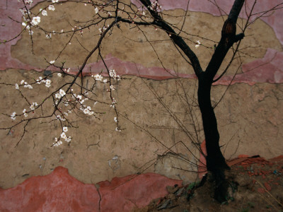 A Flowering Plum Tree Against a Wall Near Stretched Canvas Print
