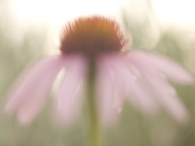 Artistic Close Up of a Purple Coneflower Plant Shot in the Grasslands Stretched Canvas Print