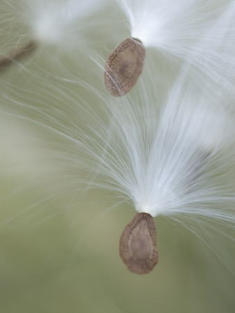 Close Up of Milkweed Seeds Shot Near Cook's Meadow in Yosemite Valley Stretched Canvas Print