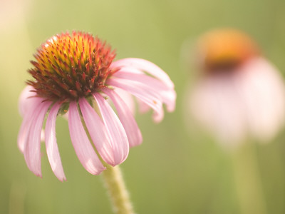 Close Up of Purple Coneflower Plants Shot in the Grasslands Stretched Canvas Print