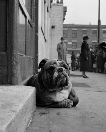 Lazy Bulldog at Camden Town Print by John Gay at Art.com