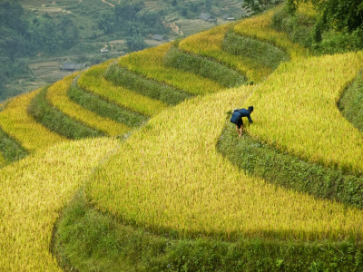 Black H'Mong Woman in Rice Field Terraces Near Tafen Village Stretched Canvas Print
