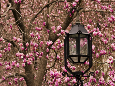 Detail of Lantern and Magnolias Blooming, City Hall Park, Lower Manhattan Stretched Canvas Print