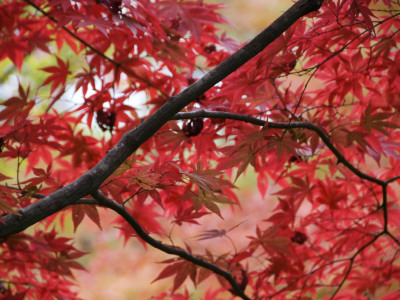 Maple Tree in Autumn Colours, Arishiyama District Stretched Canvas Print