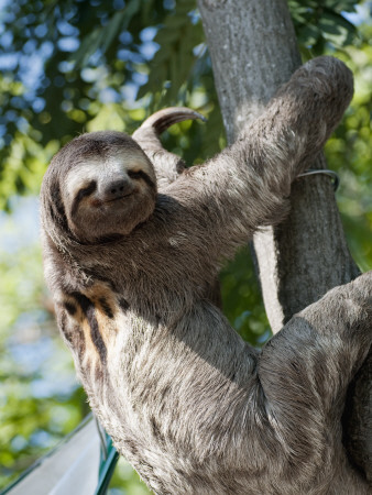 Sloth Living in Parque Centenario Stretched Canvas Print