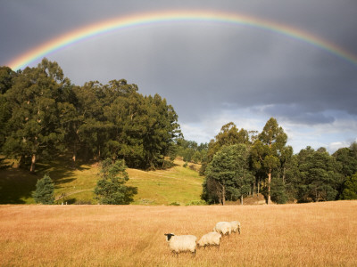 Sheep Grazing under Rainbow Stretched Canvas Print