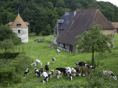 Dairy Herd of Brown and White Cows with Farm Buildings Near Blangy-Le-Chateau, Pays D'Auge Stretched Canvas Print
