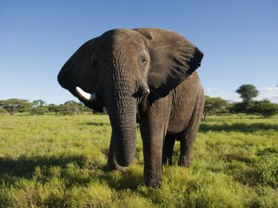 African Elephant (Loxodonta Africana Africana), Kapama Game Reserve Stretched Canvas Print