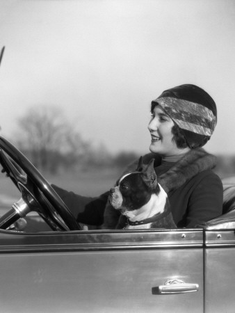 Woman at Steering Wheel Driving Car With Boston Terrier Passenger Stretched Canvas Print
