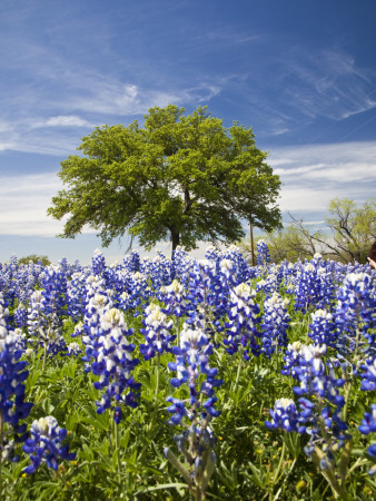 Texas Bluebonnets and Oak Tree, Texas, USA Stretched Canvas Print