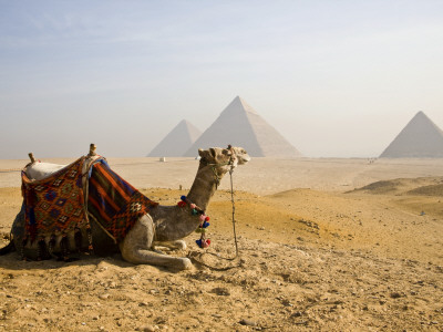 Lone Camel Gazes Across the Giza Plateau Outside Cairo, Egypt Stretched Canvas Print