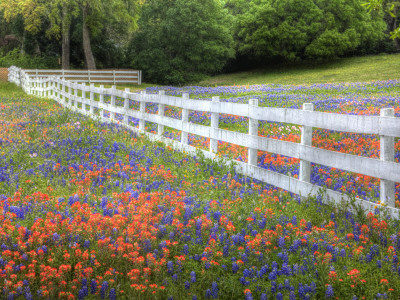 Texas Bluebonnets and Paintbrush Along White Fence Line, Texas, USA Stretched Canvas Print