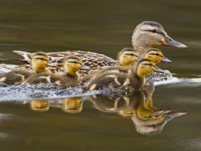 Mallard Duck and Chicks Near Kamloops, British Columbia, Canada Stretched Canvas Print