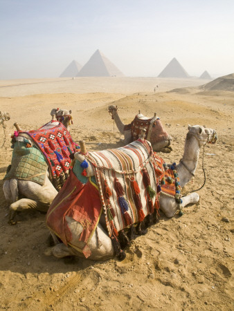 Resting Camels Gaze Across the Desert Sands of Giza, Cairo, Egypt Stretched Canvas Print
