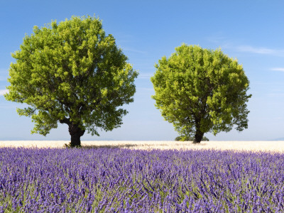 Two Trees in a Lavender Field, Provence, France Stretched Canvas Print
