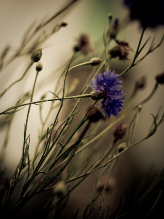 Blue Flower with Blurred Background Stretched Canvas Print