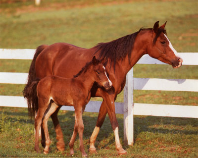 horse pictures. Horse and Colt with Fence