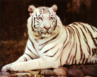 As white tigers are simply a