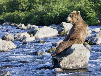 Brown Bear (Ursus Arctos) Sitting on Rock in River, Kamchatka, Russia Stretched Canvas Print