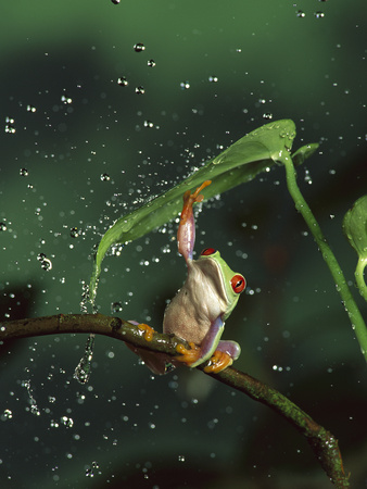 Red-Eyed Tree Frog (Agalychnis Callidryas) in Rain, Native to Central and South America Stretched Canvas Print