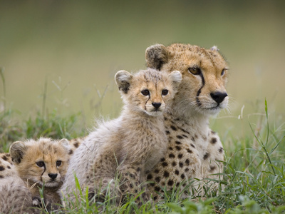 Cheetah (Acinonyx Jubatus) Mother and Eight to Nine Week Old Cubs, Maasai Mara Reserve, Kenya Stretched Canvas Print
