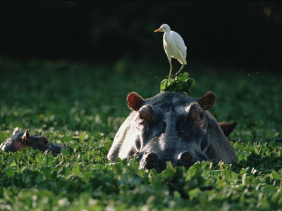 Hippopotamus (Hippopotamus Amphibius) with Cattle Egret (Bulbulcus Ibis) on Head Stretched Canvas Print