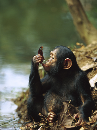 Chimpanzee (Pan Troglodytes) Young Using a Leaf to Drink, Gabon Stretched Canvas Print