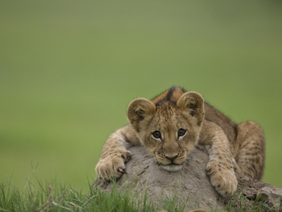 African Lion Cub, Panthera Leo, Lying across a Mound of Soil Stretched Canvas Print