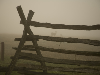 Morning Fog and a Civil War Split-Rail Fence Frame Wild Deer Stretched Canvas Print