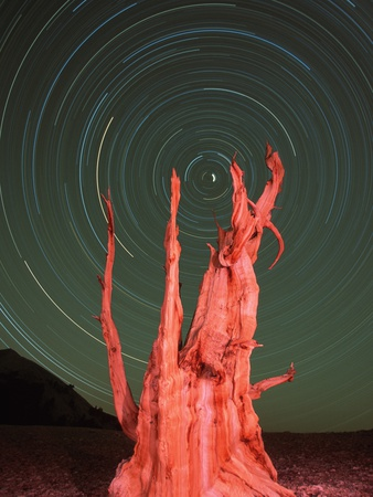 Star Trails and Bristlecone Pine Tree Stretched Canvas Print