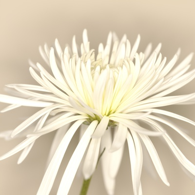 White Chrysanthemum Stretched Canvas Print