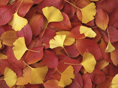 Autumnal Ginko and Dogwood Leaves Stretched Canvas Print