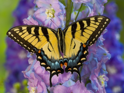 Female Eastern Tiger Swallowtail Butterfly on Delphinium Stretched Canvas Print