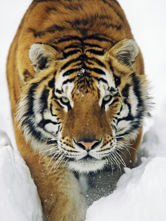 Male Siberian Tiger in Snow Stretched Canvas Print
