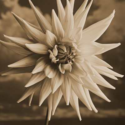 Dahlia with Clouds Behind Stretched Canvas Print