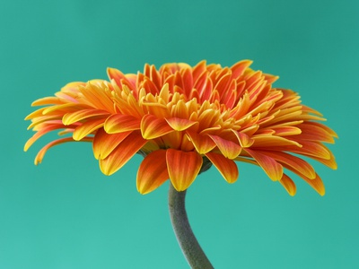 Orange Gerbera Daisy Stretched Canvas Print