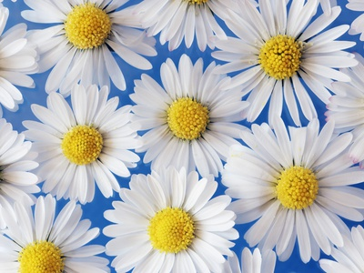 Daisy Blossoms Stretched Canvas Print