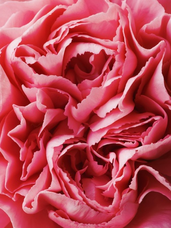Close-Up of Pink Carnation Stretched Canvas Print