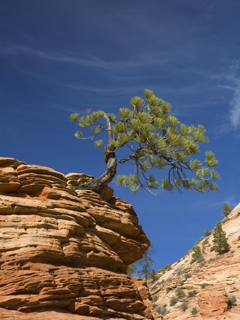 Pinyon Pine atop Sandstone Hoodoo Stretched Canvas Print