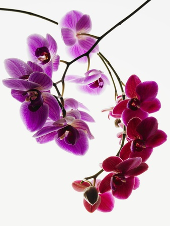 Phalaenopsis orchids Stretched Canvas Print