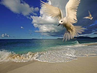 Fairy Tern at Cousine Island Beach Stretched Canvas Print