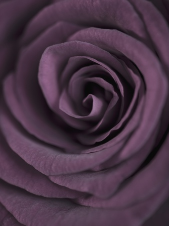 Deep Purple Rose Stretched Canvas Print