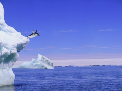 Adelie Penguin Jumping From Iceberg Stretched Canvas Print
