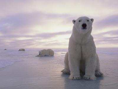 Polar Bears Stretched Canvas Print