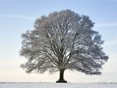 Snow-covered Oak Tree Stretched Canvas Print