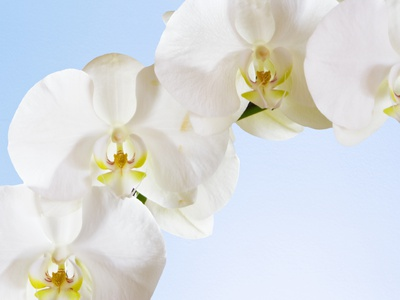 White Orchids on Blue Background Stretched Canvas Print