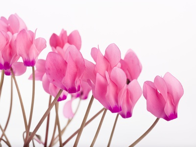 Pink Cyclamen Stretched Canvas Print